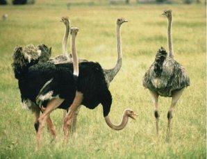 Les animaux ces tres fascinants - Poids d une autruche ...